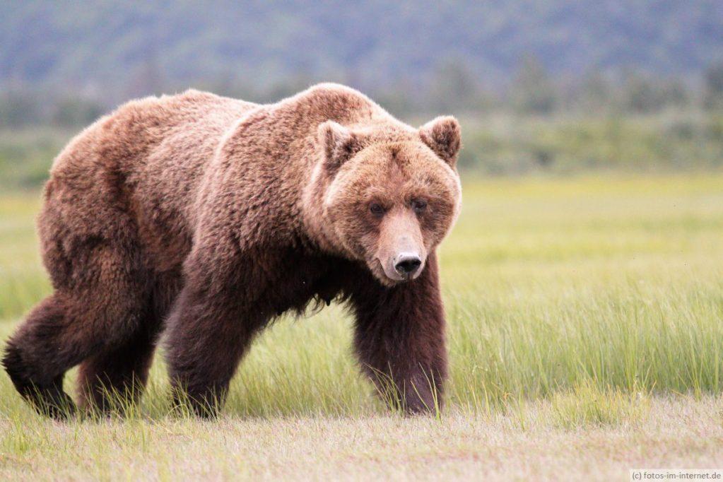 Braunb%C3%A4r Lake Clark Nationalpark - Herdenschutz oder was tun wenn der Wolf kommt…