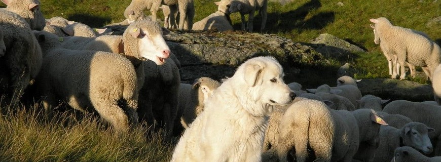 Titel - Herdenschutz oder was tun wenn der Wolf kommt...