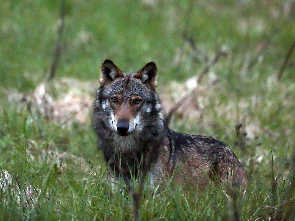 Wolf 1024x768 - Herdenschutz oder was tun wenn der Wolf kommt...