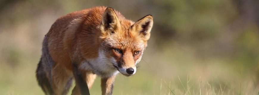 Titel - Waldbewohner: Der Fuchs