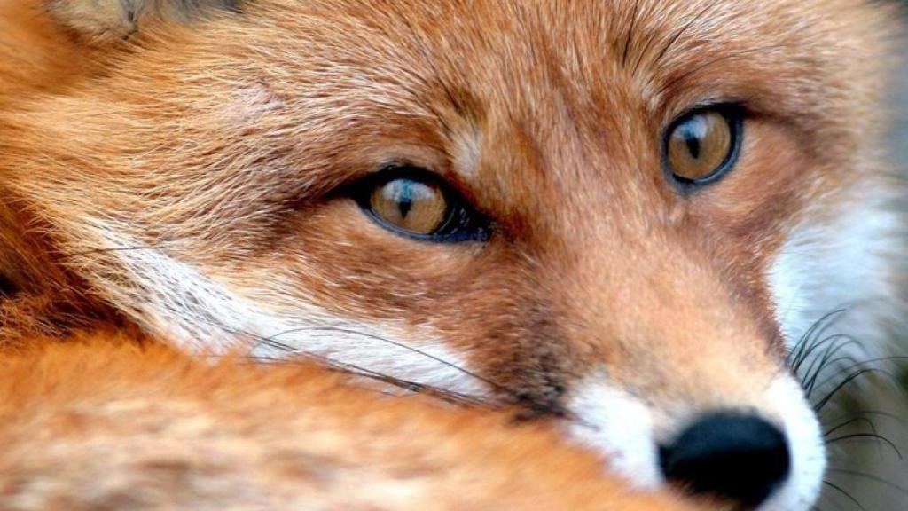 Augen - Waldbewohner: Der Fuchs