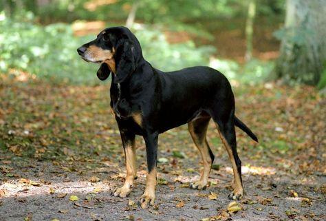 Jura Laufhund - Brackieren