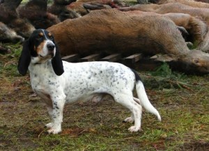 Niederlaufhund