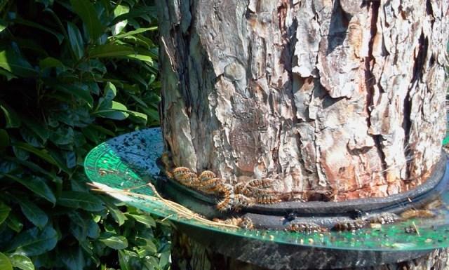 Scatta a Corinaldo la lotta alla processionaria del pino