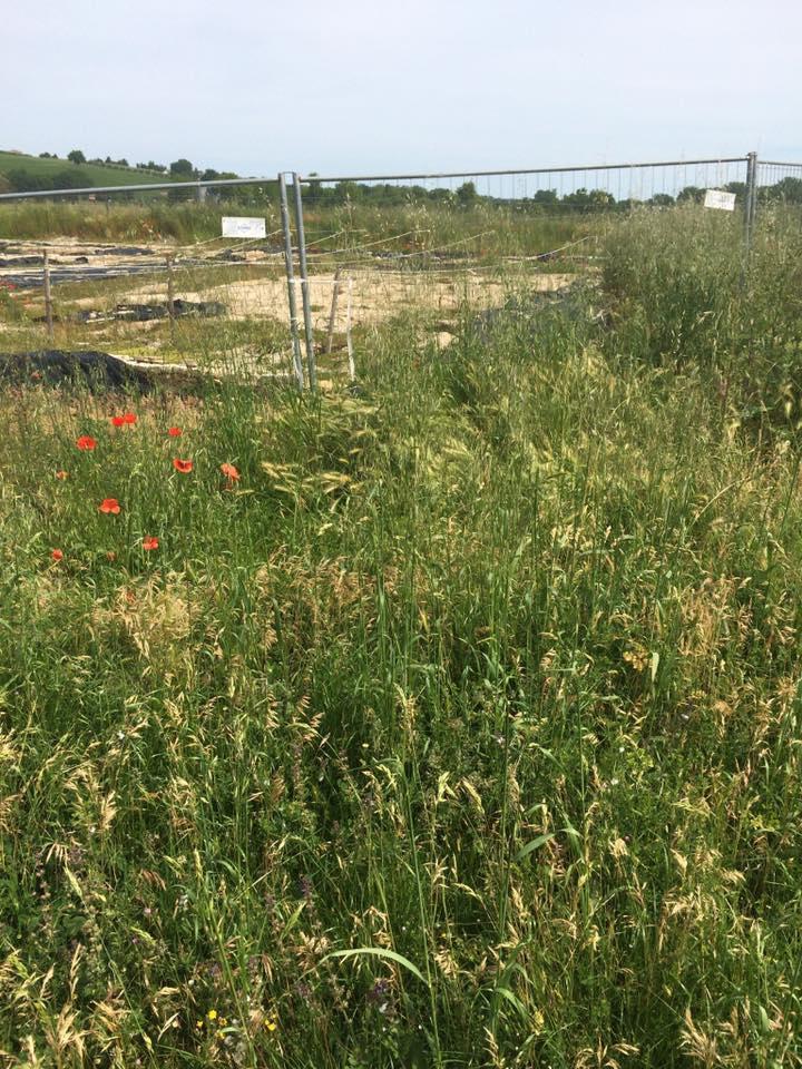L'area archeologica di Ostra Vetere nel totale abbandono