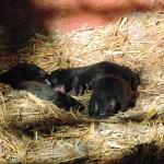 Il Parco Zoo di Falconara dà il benvenuto a quattro cuccioli di cane procione