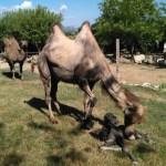 La cicogna continua a volare al Parco Zoo di Falconara dove è nato un cucciolo di cammello