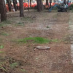 Dopo il taglio dei pini La Città Futura prende le distanze dal sindaco e dalla giunta di Senigallia