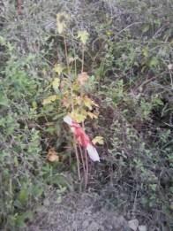 SENIGALLIA alberi estirpati misa2019-10-22 (2)