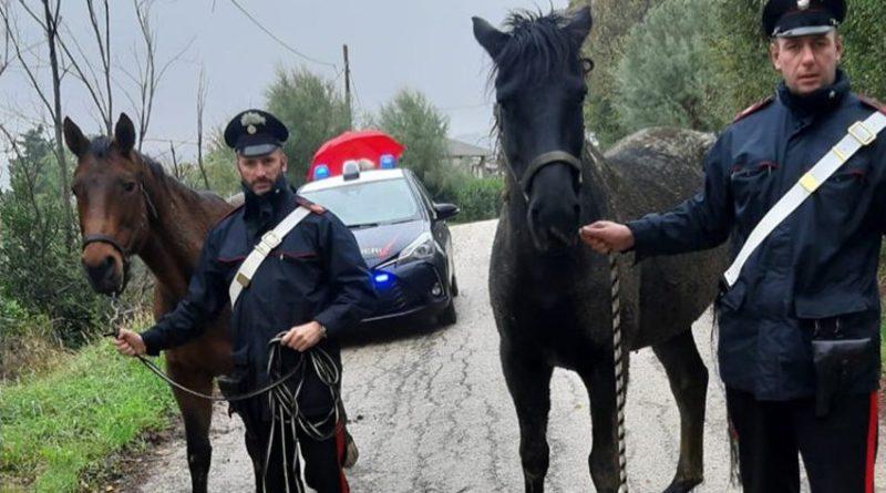Il forte vento danneggia la recinzione di un maneggio: due cavalli scappano e vagano lungo le strade di San Silvestro