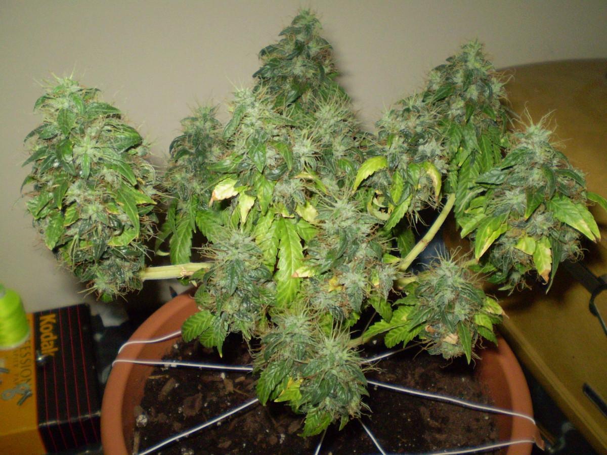 Bonsai de marihuana el arte de la paciencia