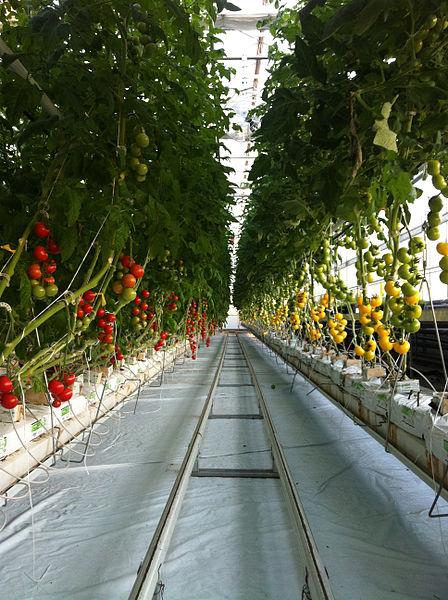 448px-Lufa_Farms_Tomato_Rows