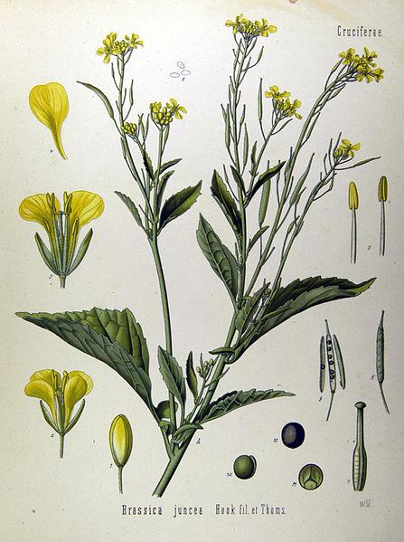 447px-Brassica_juncea_(Köhler)