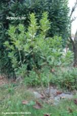 haie_arbousier_plant