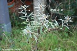haie_argousier