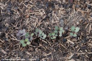 semis de choux kale rouge