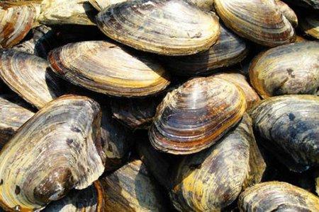 河蚌肉的功效與作用 五個女人吃河蚌肉的營養價值 - 營養飲食 - 辣媽女性網