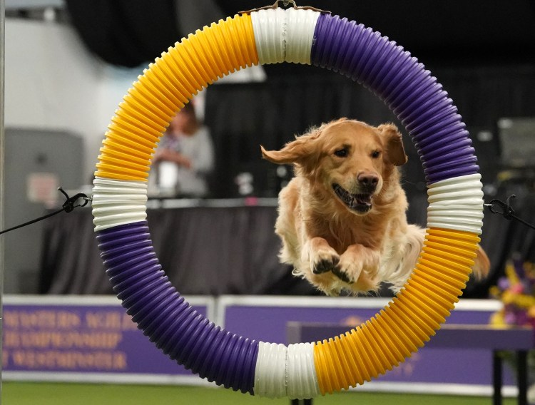 A dog competes in the 6th Annual Masters Agility Championship as the The American Kennel Club and Westminster Kennel Club present Meet & Compete on February 9, 2019, at Piers 92 and 94 in New York. (Photo by TIMOTHY A. CLARY / AFP)