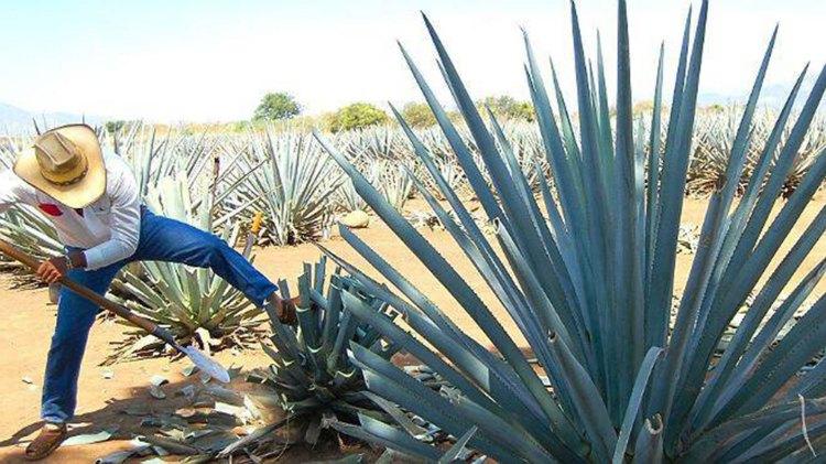 Agave azul tequila weber, la materia prima del tequila (Foto: Archivo)