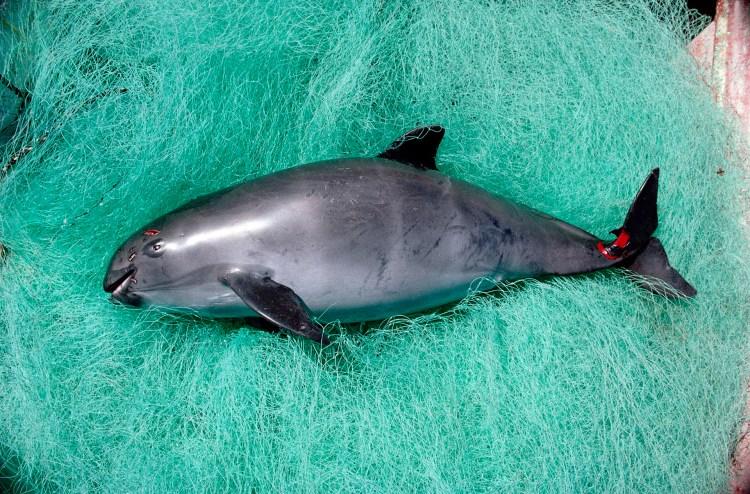 La vaquita marina queda atrapada en la redes de los pescadores (Foto: especial)