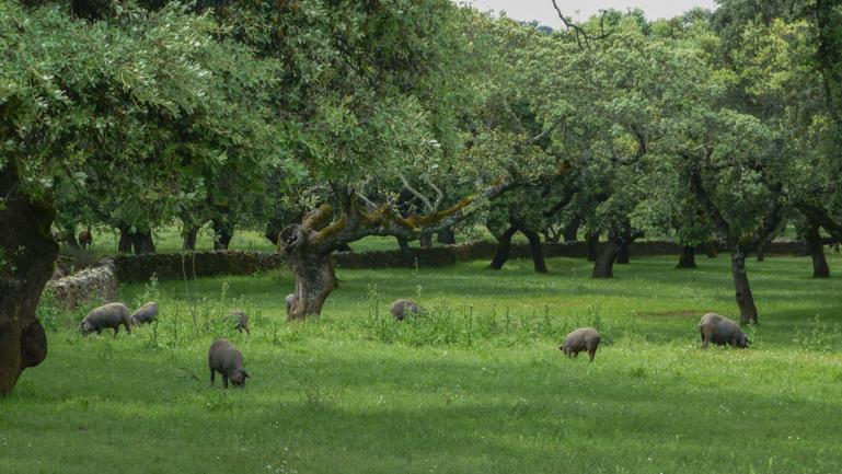 cerdos-ibericos-dehesa-extremena