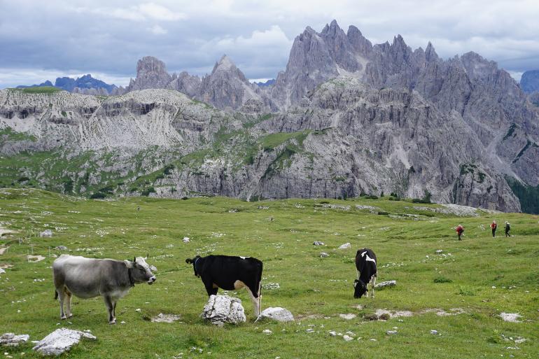 vacas en las tres cimas de lavaredo