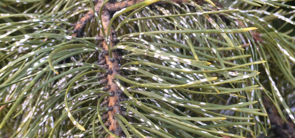 Pine needle scale on pine tree needles