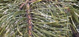 Pine needle scale on pine tree needles