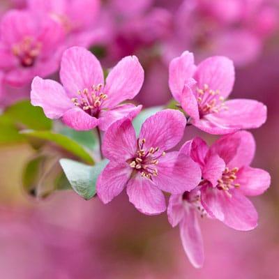 spring flowers on 'Prairiefire' crabapple