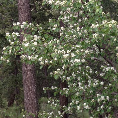 serviceberry shrub flowering