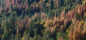ips beetle damage in Colorado foothills
