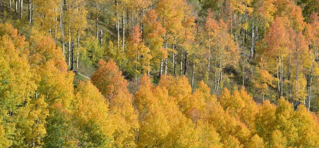 fall leaf color on aspens in colorado