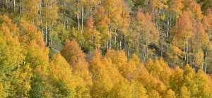 fall leaf color on aspens in colorado