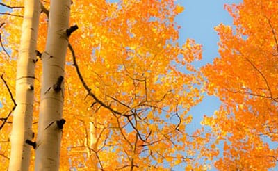 fall tree care tips LAM Tree - aspens in fall color