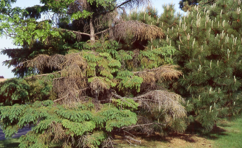 cytospora canker in spruce