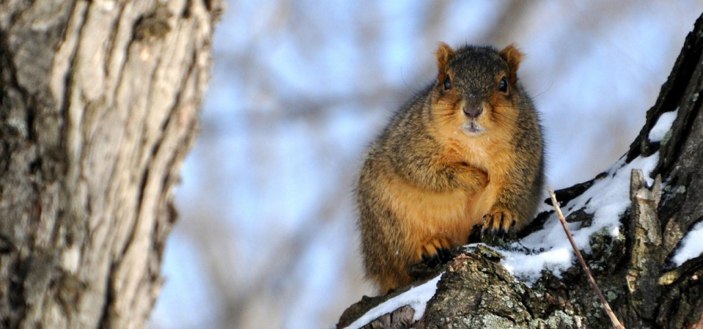 squirrel on a snow-covered tree near evergreen colorado