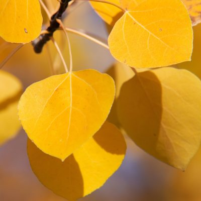 closeup of yellow aspen leaves