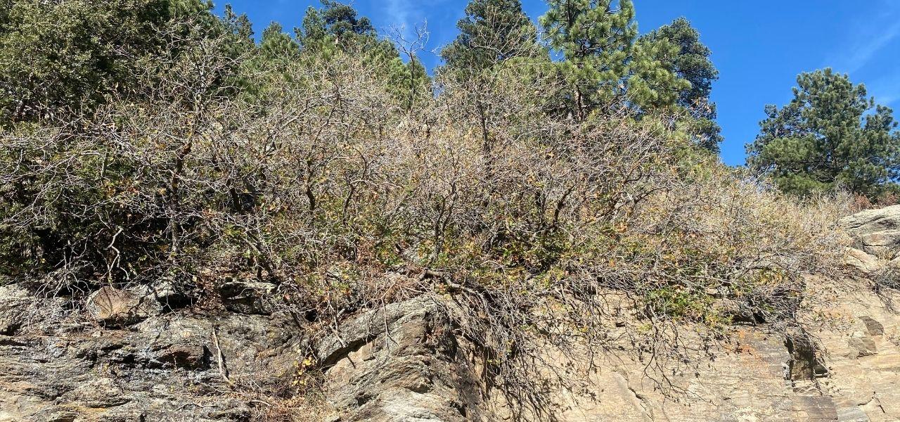 scrub oaks in Colorado in fall