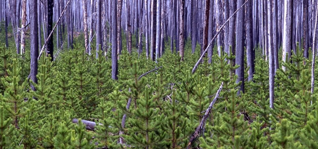 Lodgepole pines sprout up in a forest after a wildfire