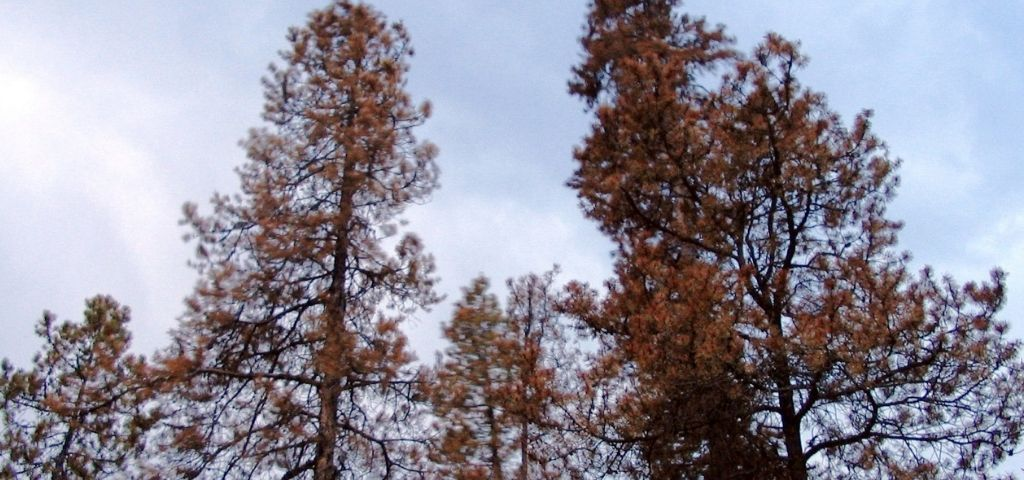 Brown, dying lodgepole pines that suffered from a mountain pine beetle infestation