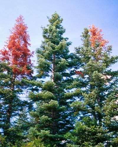 Group of 3 white firs showing signs of fir engraver damage