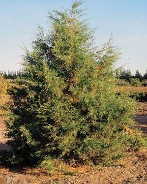 Rocky Mountain juniper in a field