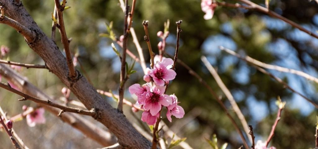 Pink spring blossoms appear on a spring-flowering tree in Colorado.
