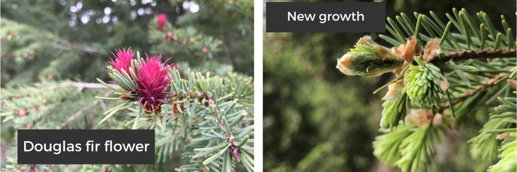 Image on the left shows a pink Douglas fir flower, image on the right shows new growth on a Douglas fir tree