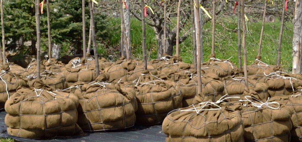 The roots of several trees are bound and burlapped and ready to be transported to their planting location.