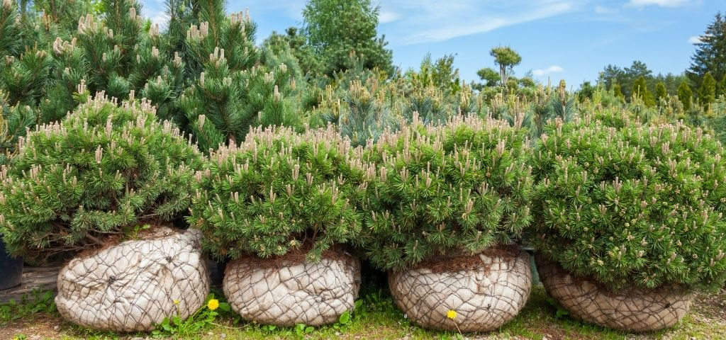 A variety of pine trees and shrubs are wrapped in burlap and ready for planting.