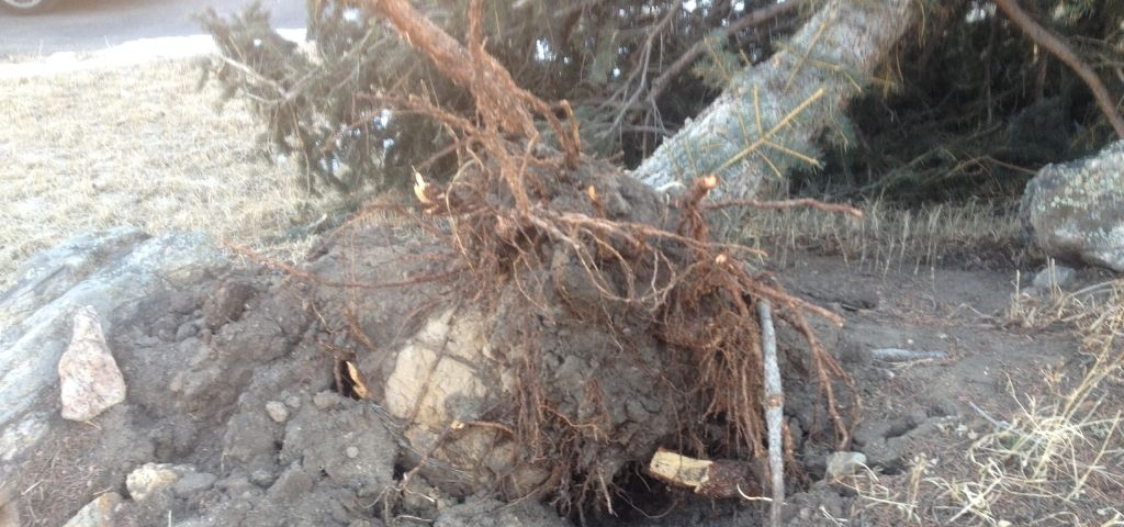 This spruce tree was uprooted and it was discovered that the burlap was never removed. This prevented the roots from spreading which ultimately led to the tree falling.