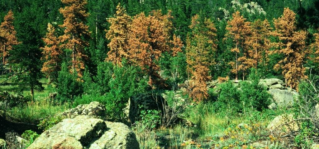Group of ponderosa pines killed by mountain pine beetle.