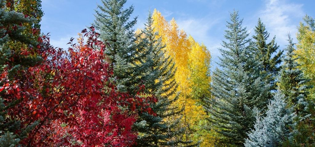 Maple, cottonwood, and Colorado blue spruce trees in fall in Colorado.