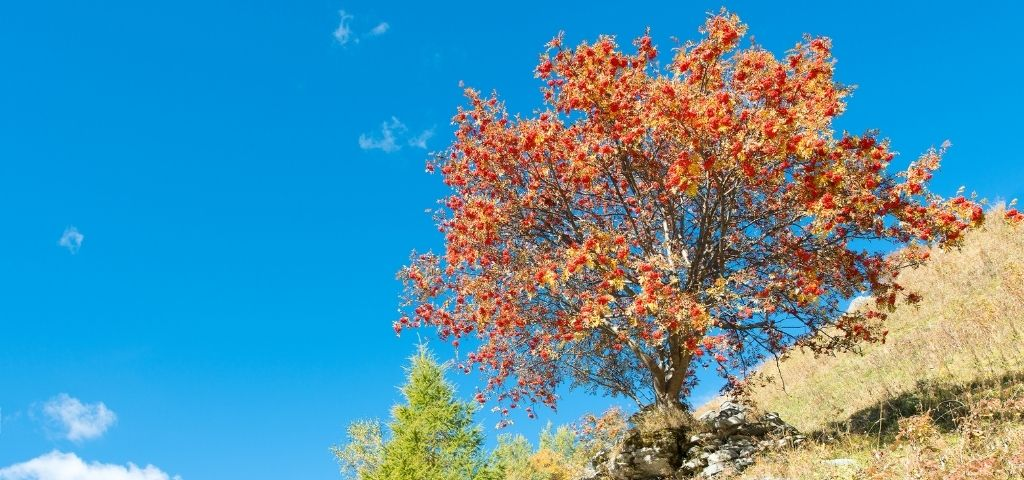 A mountain ash tree on a hillside with bright red berries and yellow or brown fall foliage.